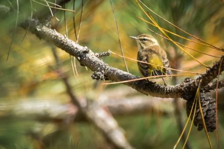 Paruline à croupion jaune