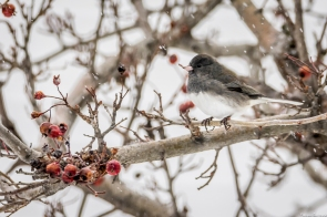 junco_fba7165_fba7165